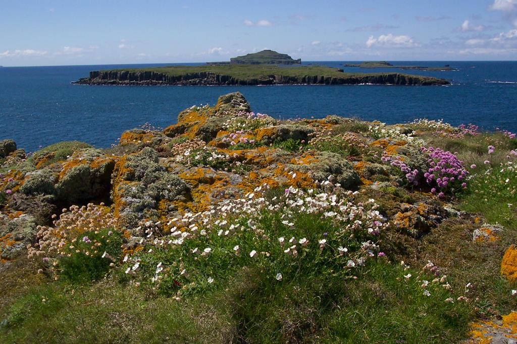 sea-campion-and-thrift-or-Seapink-gaelic-Neoinean-Cladaich-Carn-na-Burg-Mor-to-Fladda-and-Lunga-Treshnish-Isles-Scotland